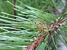 Grasshopper Come Forth by Barberelli