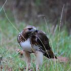 Red Shoulder Hawk by Kimberly  Saulsberry