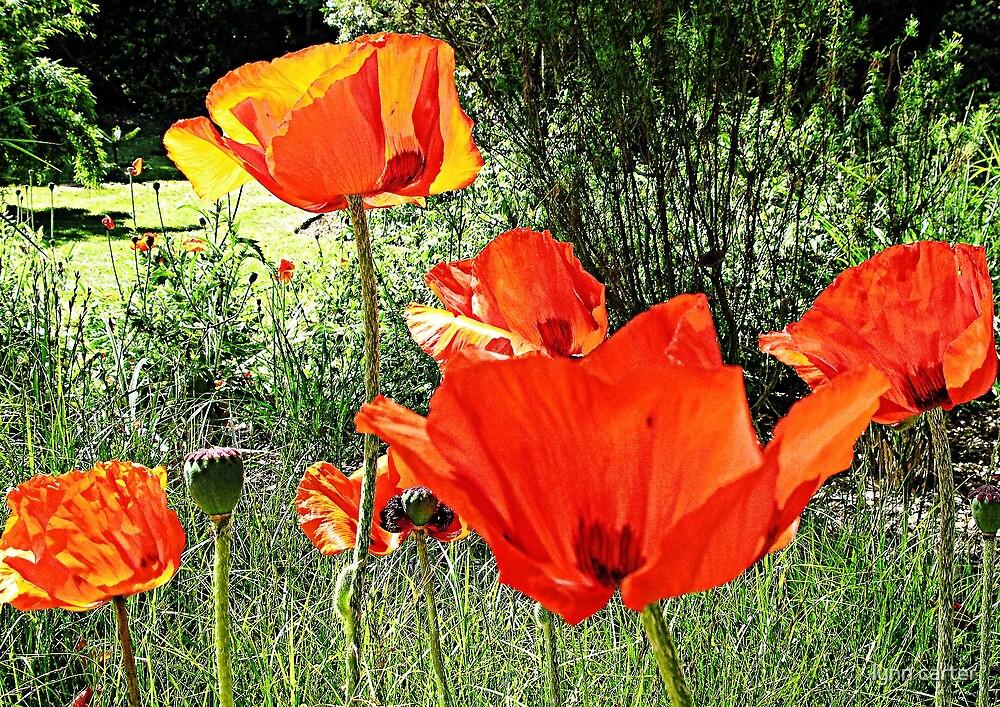 Poppy Days by lynn carter