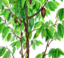 Cacao Tree (Theobroma cacao) Sticker
