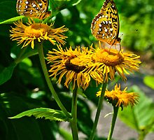 Beautiful Butterflies by Steve Williams