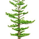White Pine (Pinus strobus) by Tamara Clark