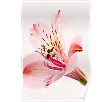 Alstroemeria (Peruvian Lilly) Poster