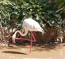 Flamingo by jaconm