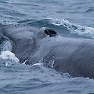 Diving Fin Back Whale by JasPeRPhoto