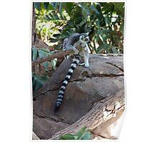 Madagascar Ring-tailed Lemur Poster