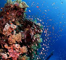 Scuba Divers pass by a coral reef photographed at Ras Mohammed  by PhotoStock-Isra
