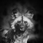 AFRICAN WILD DOG by Ben Smith