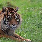 SUMATRAN TIGER by Ben Smith