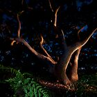Angophora at night by Clayton Hairs