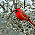 male cardinal 1 2012 by leftysphotos