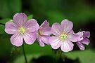 Wild Geraniums  by Robin Clifton