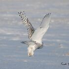 Snowy Owl Taking Off by Trish Sweett