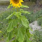 Solo sunflower by AmandaWitt
