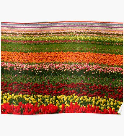beautiful tulip field Poster