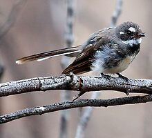 Grey Fantail  ( Rhipidura albiscapa ) by Ian Creek