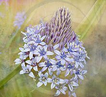 Peruvian Lily by Linda Lees