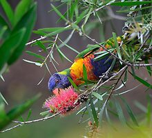 The Rainbow Lorikeet  by Wenjim