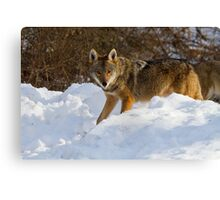 Coyote On The Hunt In The Snow Canvas Print