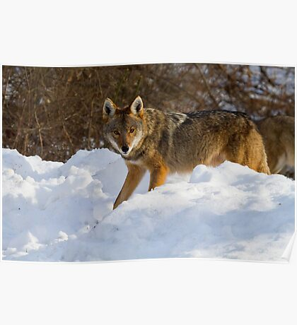 Coyote On The Hunt In The Snow Poster