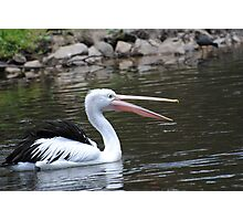 Pelican at Tidbinbilla Photographic Print