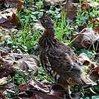 Ruffed Grouse by Linda Costello Hinchey