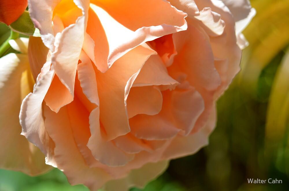 Peachy Rose by Walter Cahn