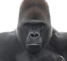Gorilla by Mdillon