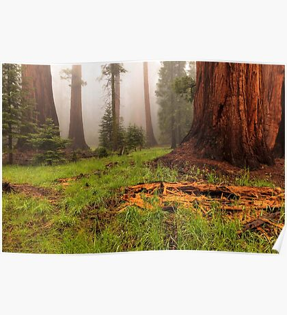 Redwood Forest Poster