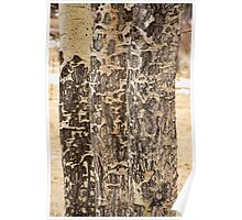 Elk Gnawed Horning Aspen Trees Fine Art Print  Poster