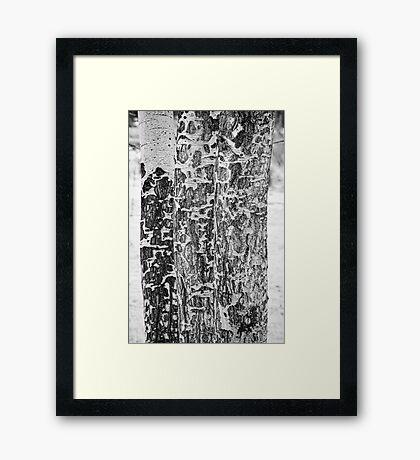 Elk Gnawed Horning Aspen Trees BW Fine Art Print Framed Print