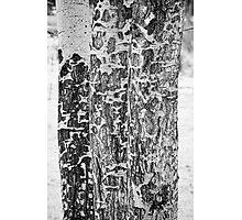 Elk Gnawed Horning Aspen Trees BW Fine Art Print Photographic Print