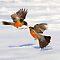 Thrushes (Songbirds) - Family - Turdidae - (Birds Category)