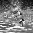 Splash Down Duck by Walter Cahn