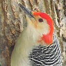 Woodpecker Profile by lorilee