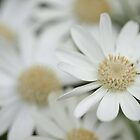 Hazy Daisies by Astrid Ewing Photography