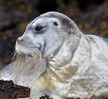 Bearded Seal by DebYoung