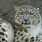 Snow Leopard. by Mark Hughes
