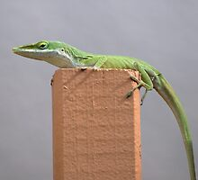 American Anole Basking by glennc70000