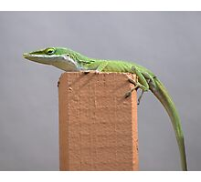 American Anole Basking Photographic Print