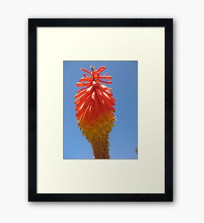 A Red Hot Poker Framed Print