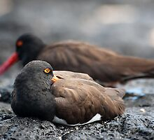 Galapagos Oystercatchers at Rest by Claire Campbell