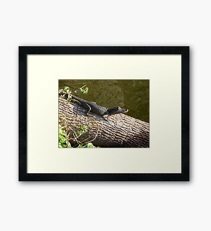 Little Baby Gator Framed Print