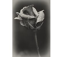 Gray rose Photographic Print