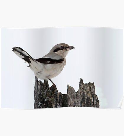 Deadly Songbird / Northern Shrike Poster