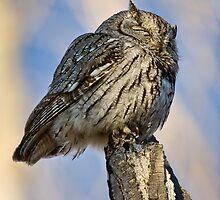 Screech Owl 2 by Kim Barton