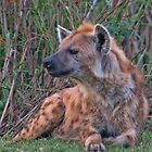Laughing Hyena by by M LaCroix