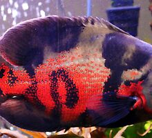 Oscar, but not the grouch....the cichlid by Jeanette Muhr