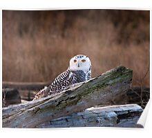 Wintering Snowy Owl Poster
