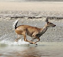 White Tailed Deer Running The Beach by Kathy Baccari